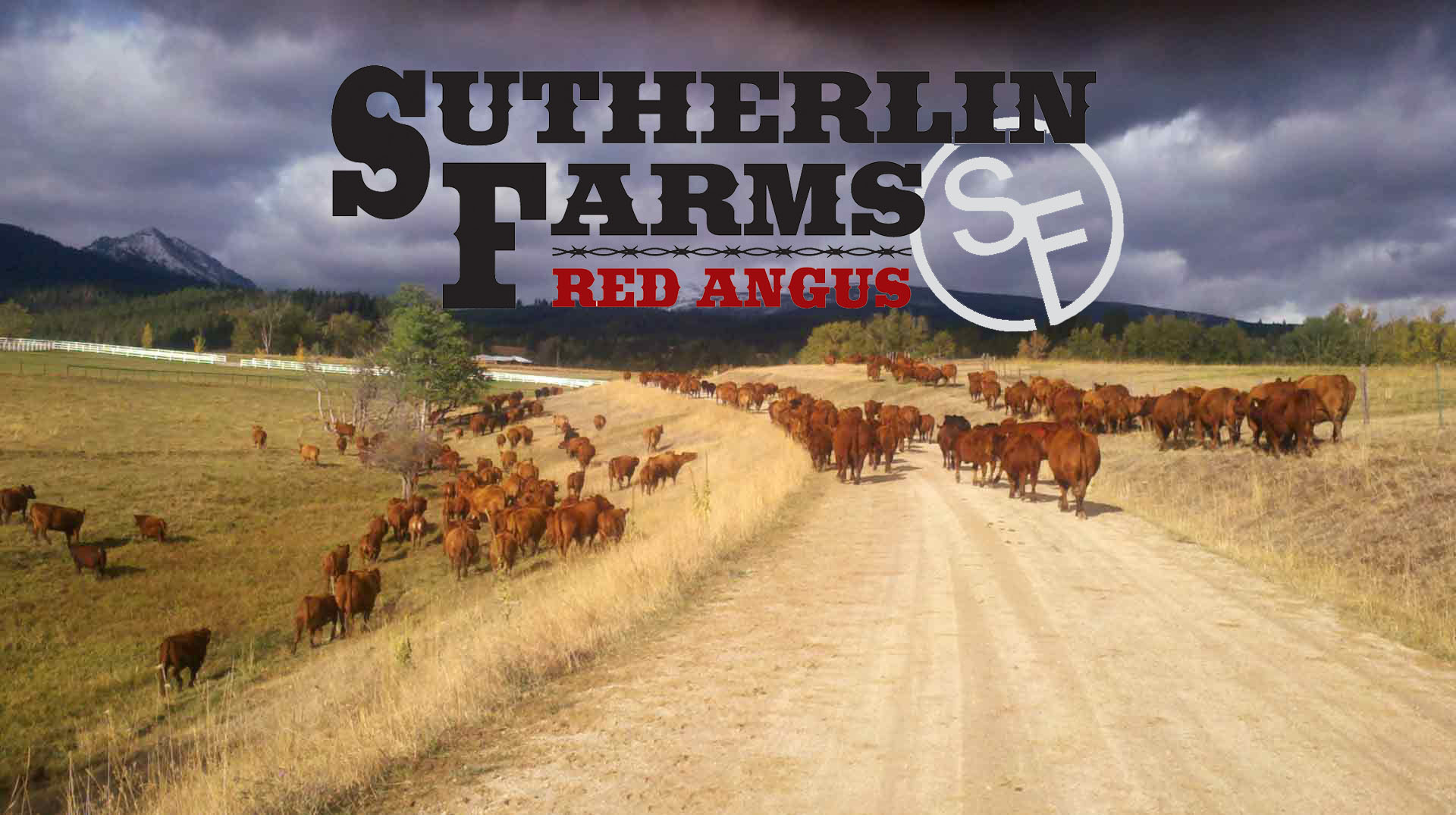 Sutherlin Red Angus Cattle Montana